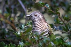 Shining-Bronze Cuckoo