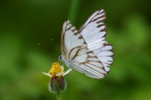 Forest White - Udaiana cynis cynis
