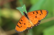 Tawny Coster, Achaea Terpsichore