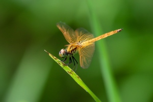 Crimson Dropwing - Trithemis aurora - Female