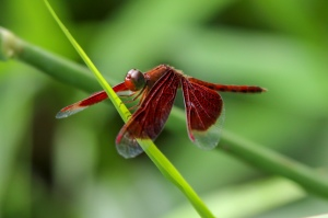 Red Grass-hawk Dragonfly - Neurothemis fulvia
