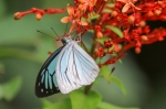 Common Wanderer Butterfly (Pareronia Anais)