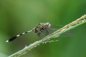 Green Marsh-Hawk - Orthetrum Sabina sabina