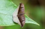 The Grey Count, Tanaecia lepidea