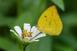 Lemon Emigrant Butterfly- Catopsilia Pomona