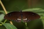 Siamese Raven Butterfly - Papilio castor mahadeva