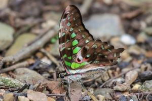 Tailed Jay Butterfly, Graphium agamemnon agamemnon.