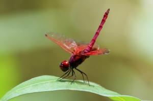 Crimson Dropwing - Trithemis aurora - Male