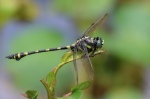 Common Flangetail - Ichtinogomphus decoratus meleanops