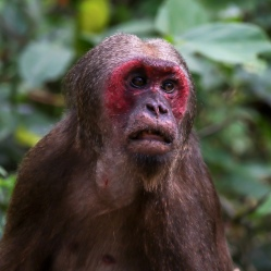'The Grand Daddy' Stump-tailed Macaque