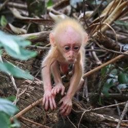 'The baby' Stump-tailed Macaque