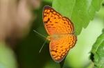 Red Spot Marquis - Euthalia recta monilis