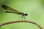 Stream Ruby - Heliocypha bisignata