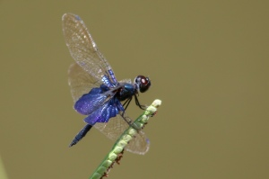 Sapphire Fluterer (Rhyothemis triangularis)