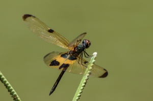 Yellow-barred Flutterer, Rhyothemis phyllis