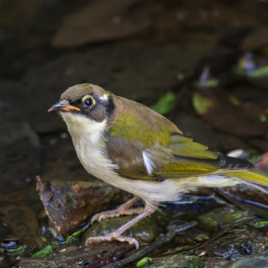 Immature White-named Honeyeater