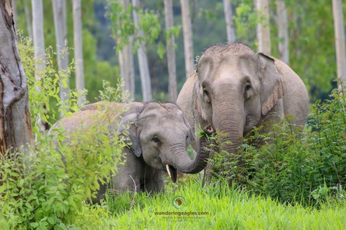 Asian Elephant Family
