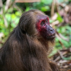 Stop-tailed Macaque