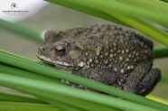 A very Handsome Asian Toad
