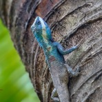 Indo-Chinese Forrest Lizard