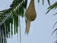 Amazing Baya Weaver nest