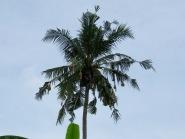 Baya Weaver Nesting Tree