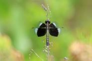 Pied Paddy Skimmer - Neurothemis tullia tullia