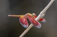 Flutterer Dragonfly