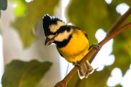 Crested Shrike Tit