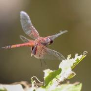 Coastal Glider Dragonfly