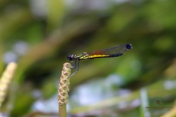 Stream Heliodor - Libellago lineata lineata - Male