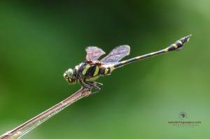 Common Flangetail - Ichtinogomphus decoratus meleanops