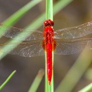 Scarlet Skimmer - Crocothemis servilia servilia ♂