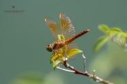 A Female Ditch Jewel Dragonfly