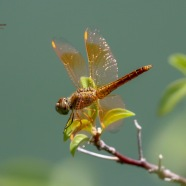 A Female Ditch Jewel Dragonfly