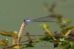 Grey Sprite - Pseudagrion pruinosum (male)