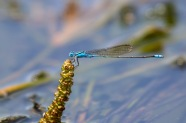 Blue River Damsel - Pseudagrion microcephalum
