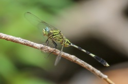 Green Marshhawk Dragonfly
