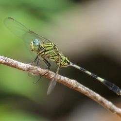 Green Marshhawk Dragonfly