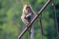 Crab-eating Macaque with stolen treats