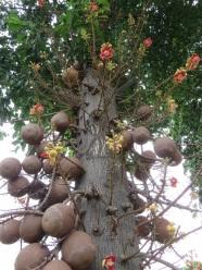 Cannonball Trees - Koh Samui Airport