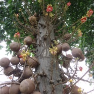 Cannonball Trees - Koh Samui Airport