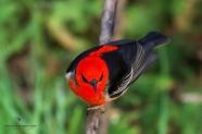 Scarlet Honeyeater / Myzomela sanguinolenta