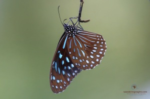 Blue Glassy Tiger (Ideopsis vulgaris)