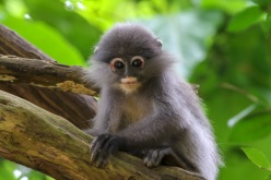 A young Dusky Leaf Monkey