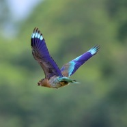 Stunning coloured wings of the Indian Roller