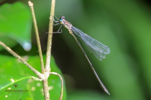 Forest Needle Damselfly
