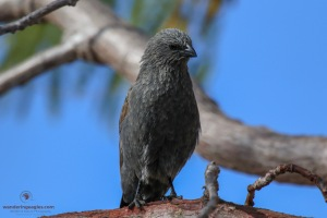 Appostle Bird