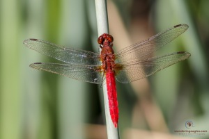 Red Arrow Dragonfly