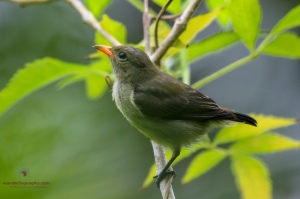Female Scarlet Flowerpecker